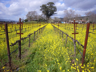 Napa Mustard | by Jim Bahn