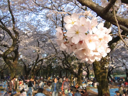 Hanami | by moogs