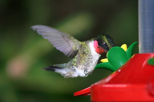 Humming Bird at Feeder | by Martin Cathrae