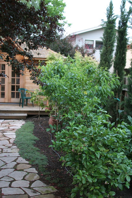 backyard orchard with italian cypress for the urban