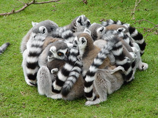 Ring Tailed Lemurs | by Paul and Catie