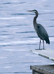 heron on a diving board | by .curt.
