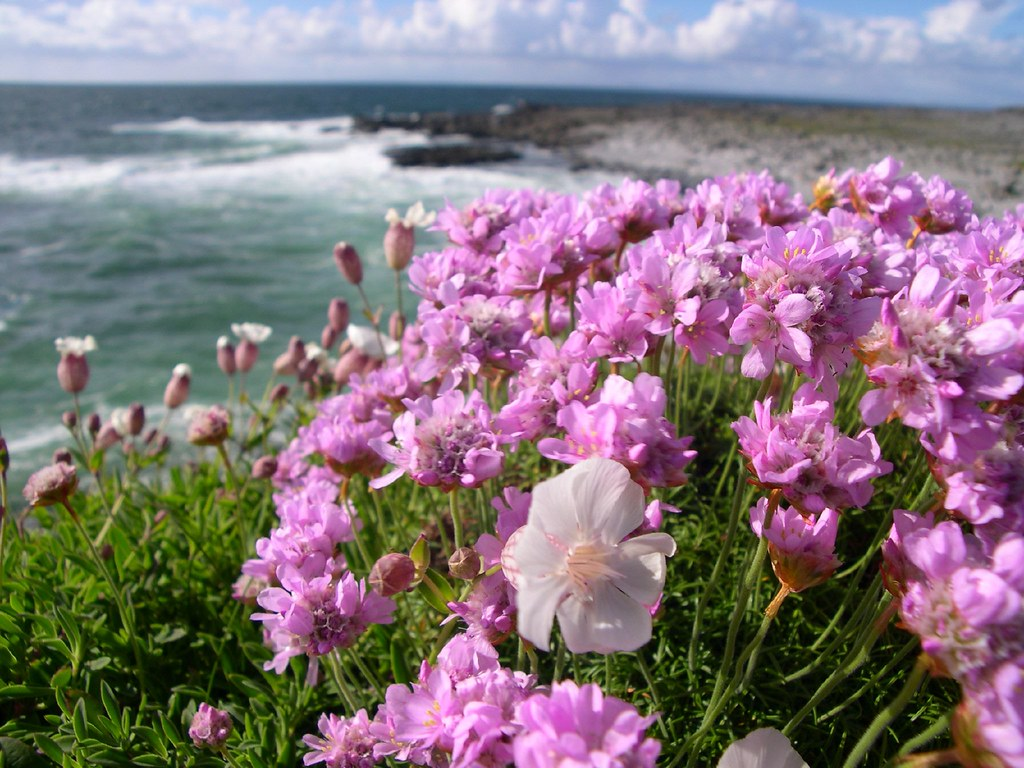 Flowers in the Burren From R477 in Co Clare Ireland