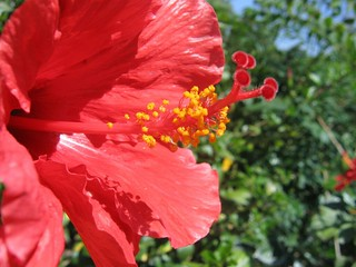 Red Hibiscus | by mquest foto