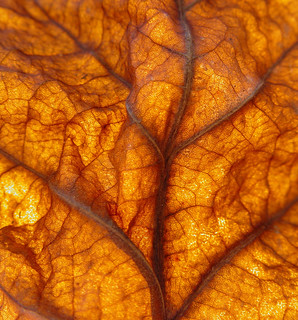 Sycamore Leaf | by Clearly Ambiguous