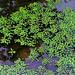 Water Caltrops (Water Chestnut) /  菱