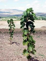 Young Grape-vine