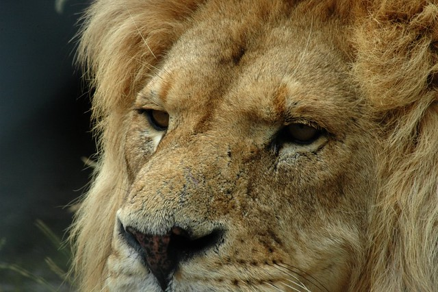A lion waits for lunch