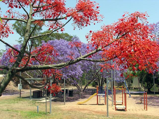 Jacaranda And Flame Tree In Flower In Herberton