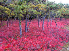 Blueberry bushes Lake Minnewaska | by Stanley Zimny (Thank You for 23 Million views)