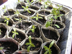 20070212 tomato seedlings | by jspatchwork