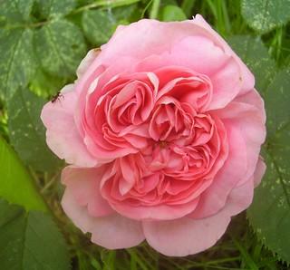 rose rosa alba group 39 k nigin von d nemark 39 another of my flickr. Black Bedroom Furniture Sets. Home Design Ideas