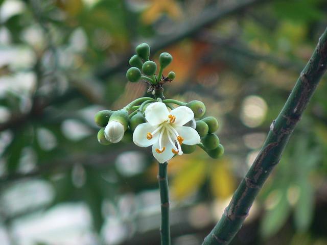 Shweta Shalmali Sanskrit ���्वेत ���ालमली Flickr Photo