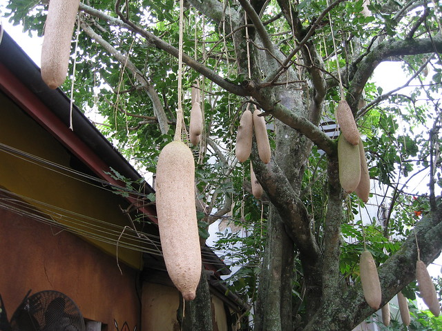 Iconic African Sausage Tree