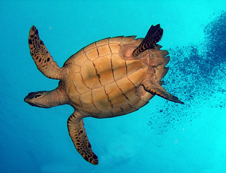 Hawksbill Turtle | by pony_33406