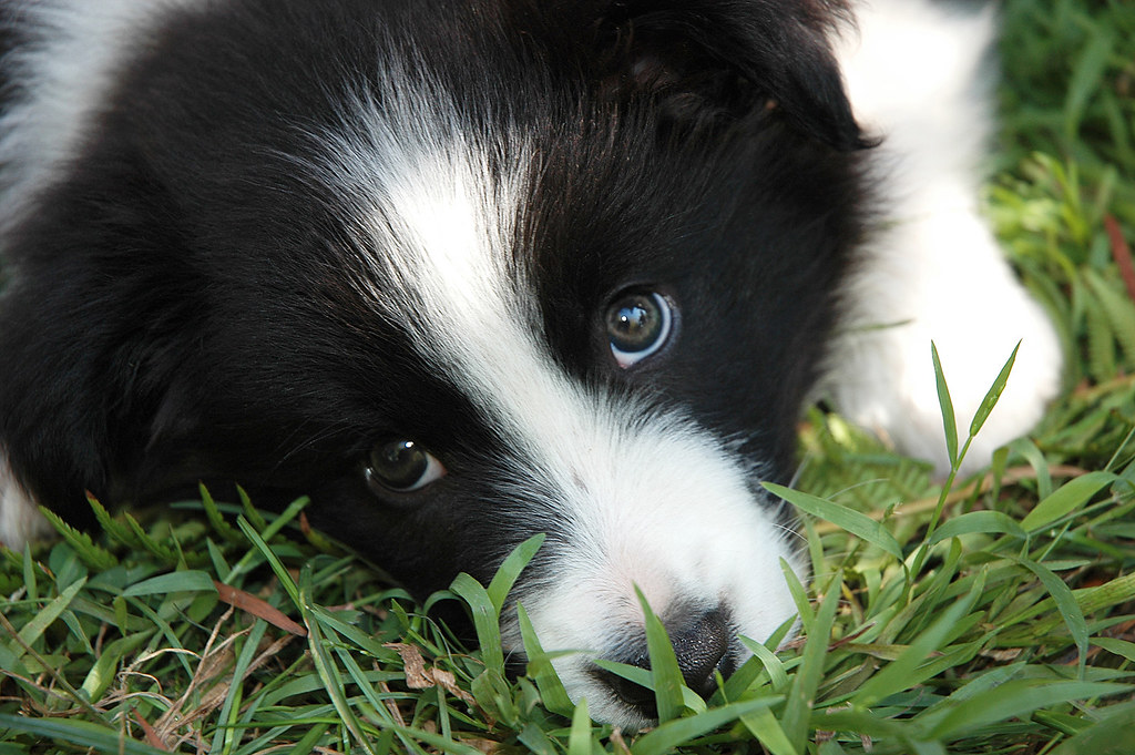 Jimmy the Border Collie Puppy | With a patch of sunlight on ... Puppy