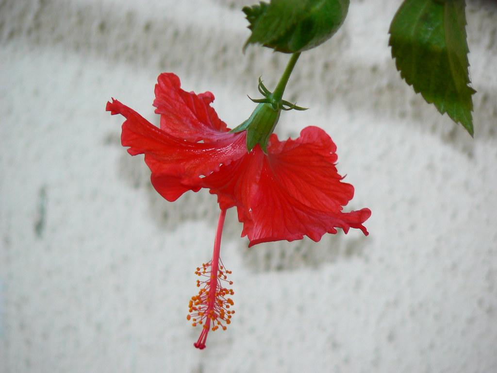 Sembaruthi tamil malvaceae mallow sembaruthi tamil by dinesh valke izmirmasajfo
