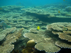Table Coral Field at Koh Ngai Island, Thailand | by _takau99