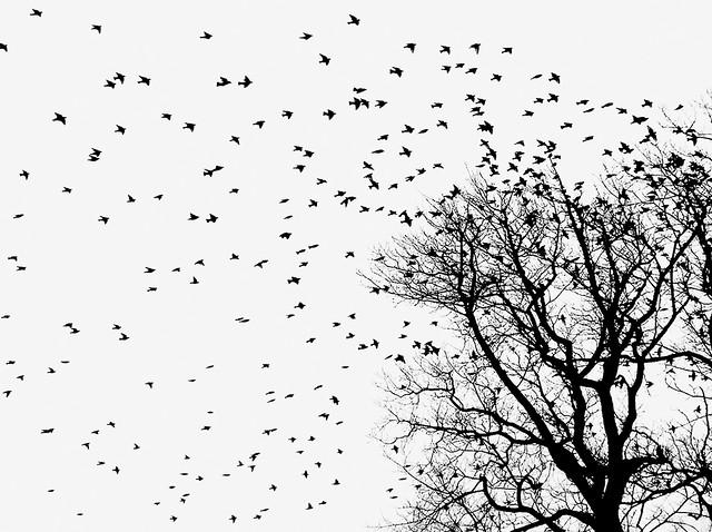 Raven Flocks Raven Flock   by