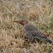 Who am I? Well I am a Northern Flicker Woodpecker