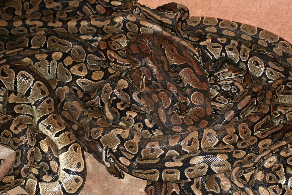 """Résultat de recherche d'images pour """"case des pythons ouidah"""""""