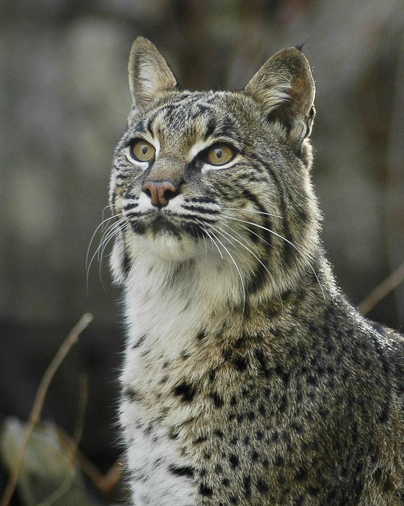 Bobcat Valerie Flickr
