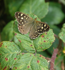 Speckled Wood | by Nige's Place