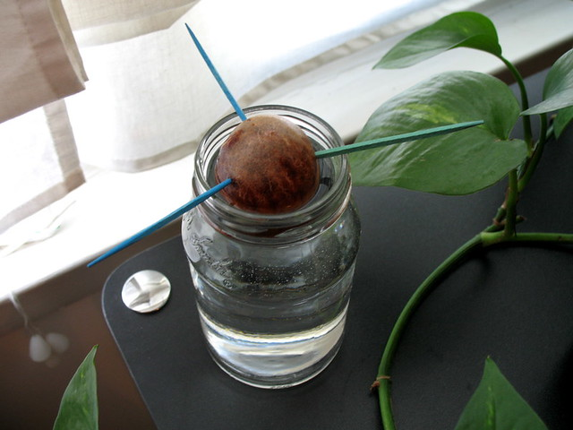 Avocado seed in water