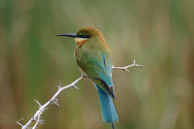 Blue Tailed Bee Eater | Flickr - Photo Sharing!