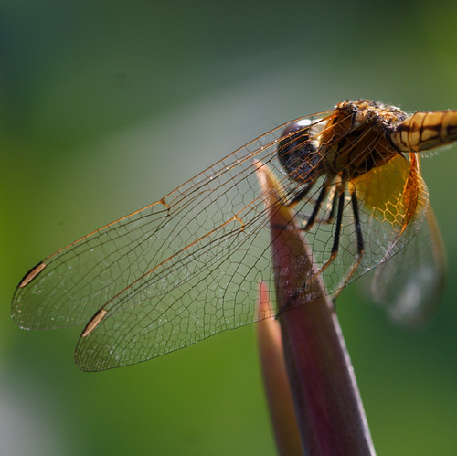 Dragonfly, full wings in thermoregulation, Botanic Garden, Singapore. | by InSectHunter