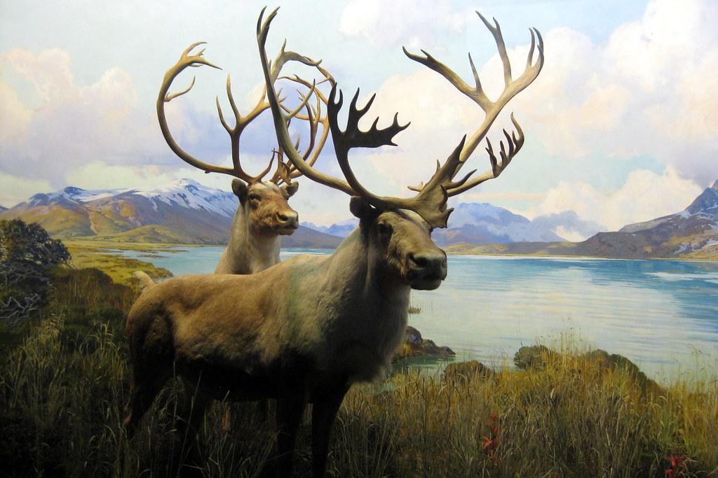 NYC - AMNH: Hall of North American Mammals - Grant Caribou ...
