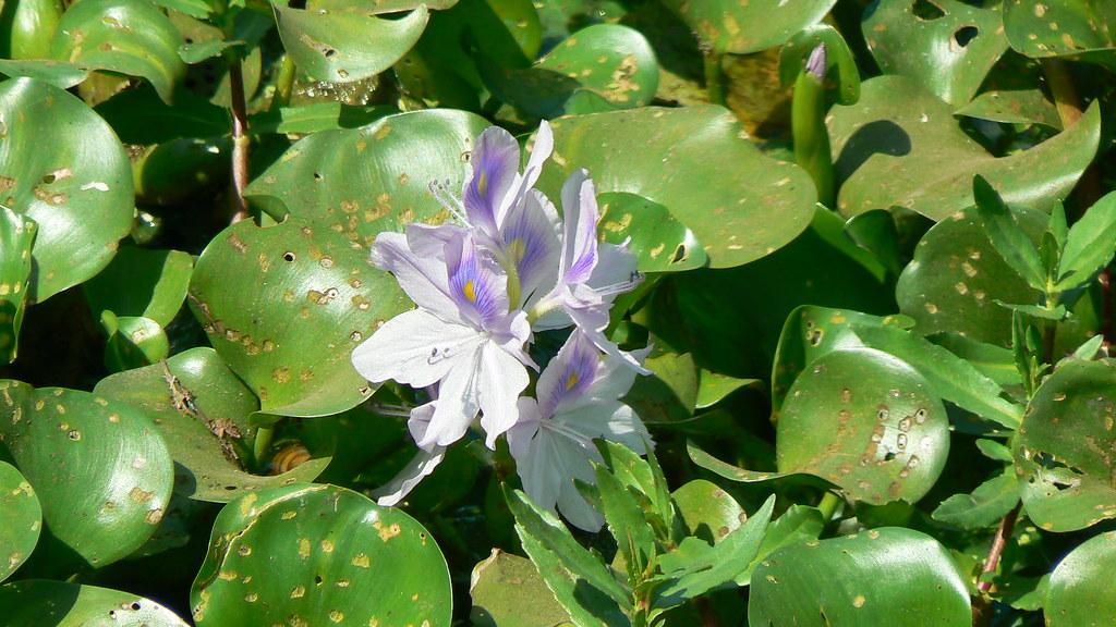 Water Hyacinth | Common name: Water Hyacinth, Kabokkang ...