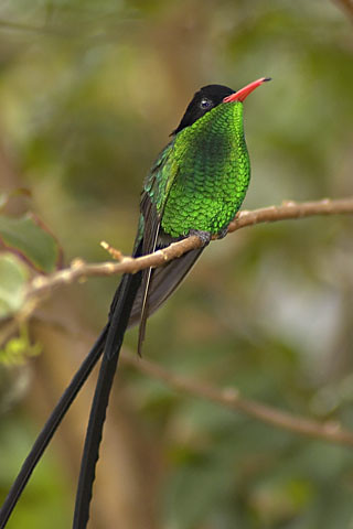 Bird Identifier  British Garden Birds and Many   The RSPB