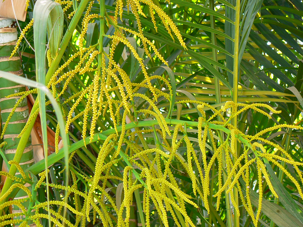 dypsis lutescens arecaceae palm family 187 dypsis