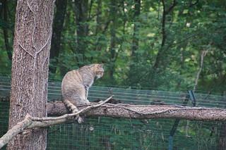 076 Europese wilde kat