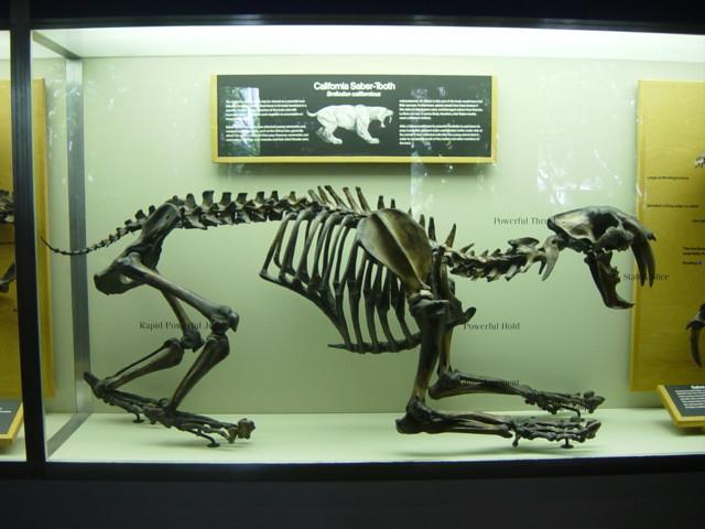 Saber Tooth Skeleton | Skeleton of Saber Tooth Tiger at ...