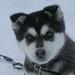 Husky_Pup_01.jpg