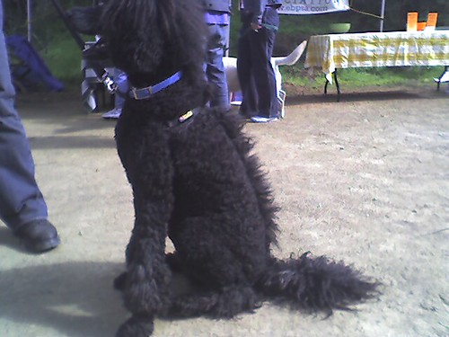 I M A Guy Considering A Standard Poodle For His Next Dog