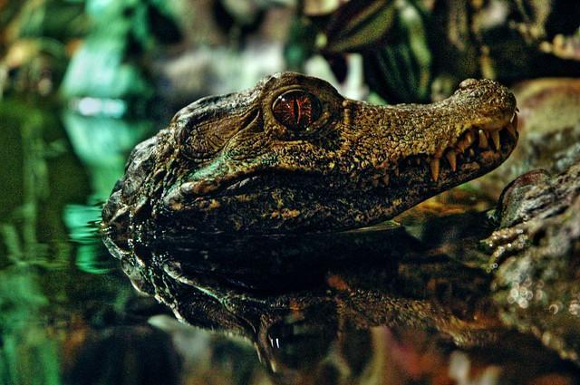 93ab1b59d024 by JimFormation Alligator  Croc  Cayman