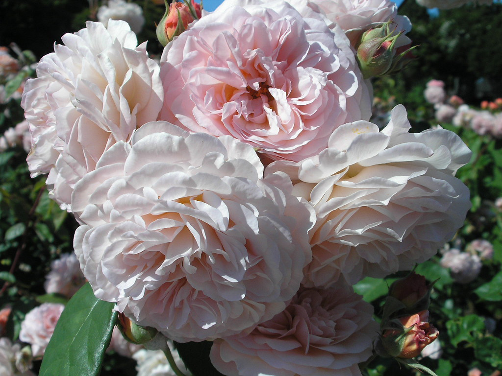 leander rose this david austin rose is called leander