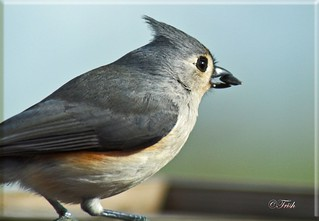 Tufted Titmouse | by Momba (Trish)