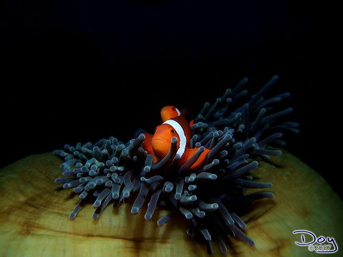 Clown Anemone Fish | by =Doy