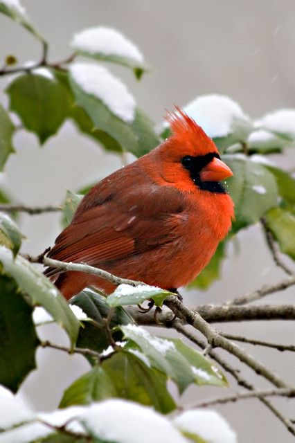 Red cardinal in the snow large view of 39 red cardinal in - Pictures of cardinals in snow ...