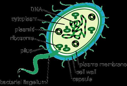 Bacterias Partes