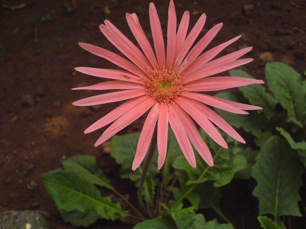 Image Result For Daisy Flower Garden