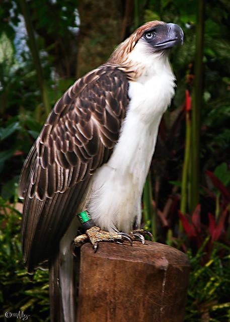 Monkey-eating Eagle (Haribon) | Philippine Eagle ...