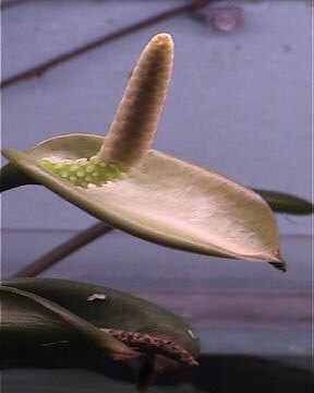 Freshwater aquatic plants anubis sp in bloom mick for Freshwater pond plants