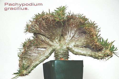 Pachypodium rosulatum gracilius crest.