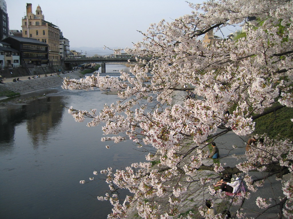 Cherry blossoms & the Kamo River in Kyoto, Japan; 鴨川の桜、京都