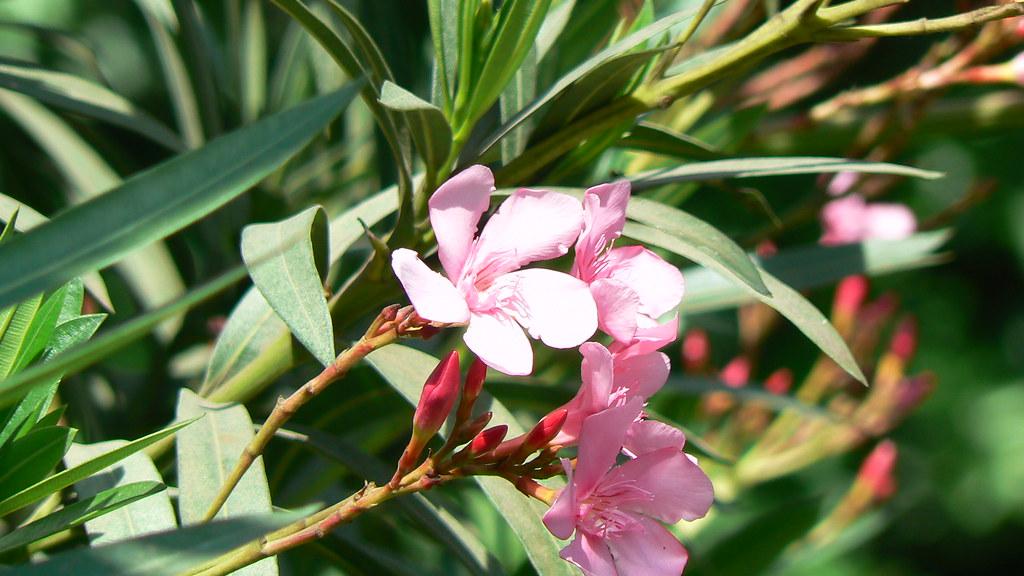 Nerium oleander \u0026#39;Apple Blossom\u0026#39;   Common name: Oleander ...